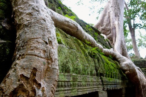 Close-up from roots at Ta Prohm temple
