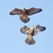 Young Peregrine Fledglings