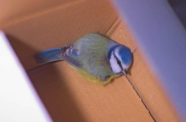 Mésange bleue - Cyanistes caeruleus en convalescence