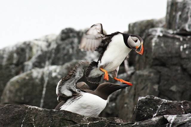 Atlantic puffin and guillemot in takeoff
