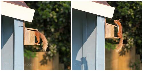 Red Squirrel Feeder Diptych
