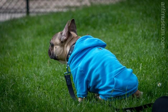 Bulldog's hoody