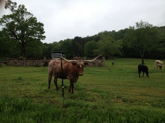 Longhorn at Lazy M Farm, Springville AL