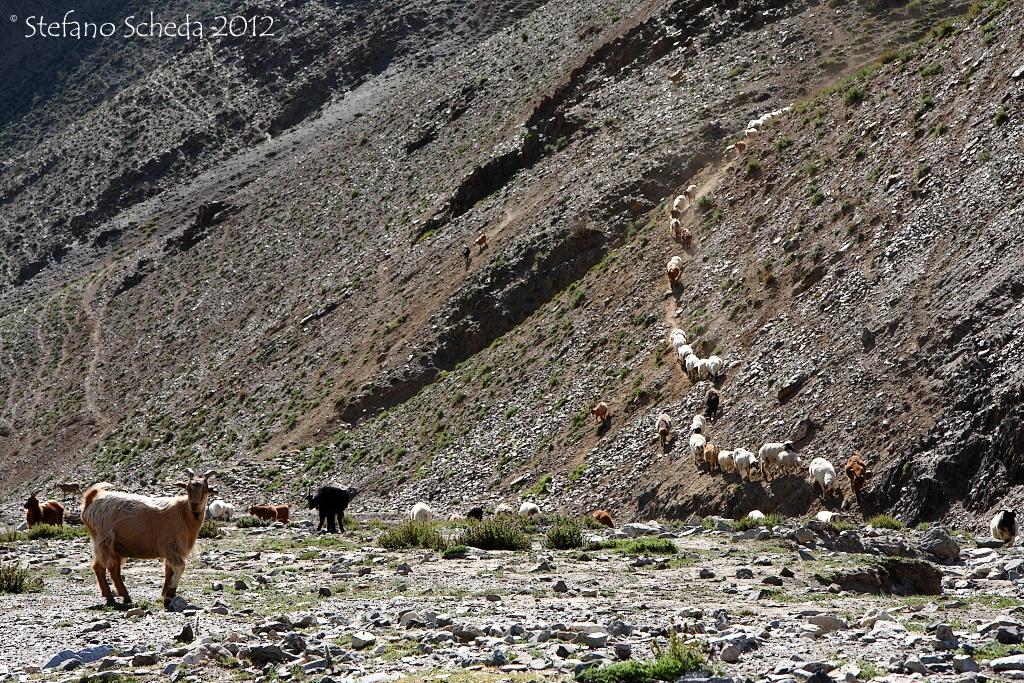Goats pathway - Mongolia