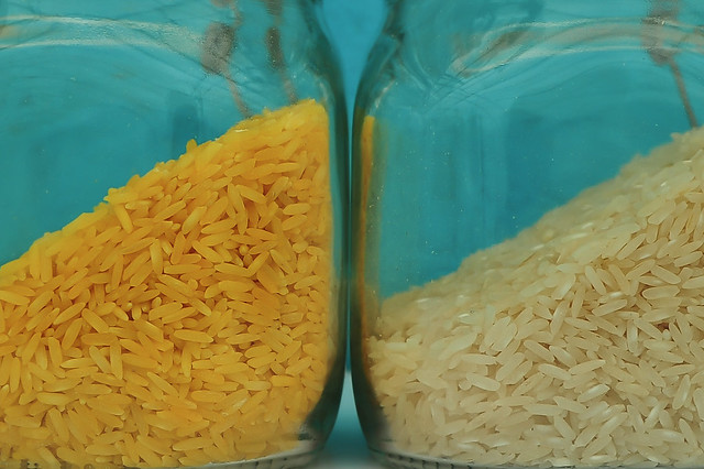 Golden Rice grain compared to white rice grain GN7_0452-1