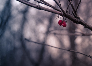 Winter Berries // 28 12 13