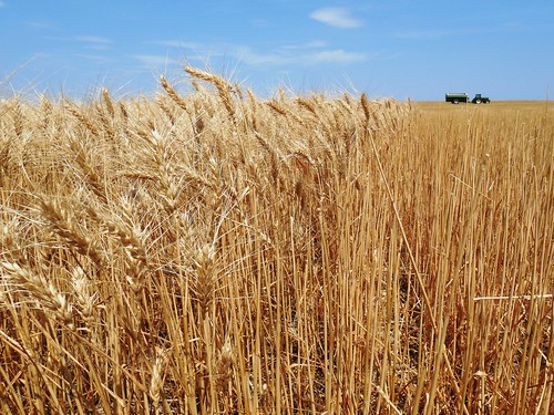 Standing wheat next to stripper head stubble