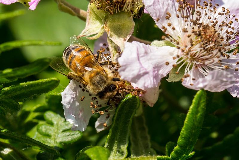Yellow Honey Bee on a blackberry flower