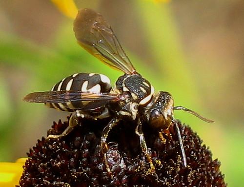 Cuckoo Bee, Genus Triepeolus
