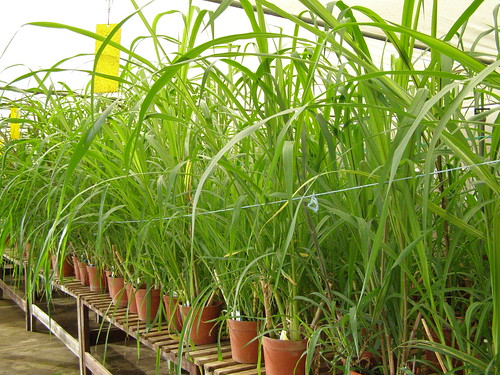53 new accessions of Napier grass received at Forage Genebank