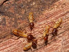 Termites 8594