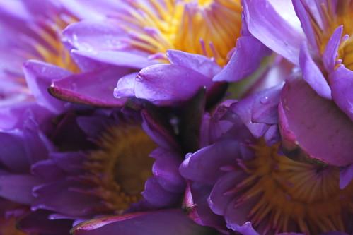 20130312_5230-purple-water-lilies