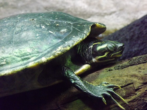 Snoozetime Turtle