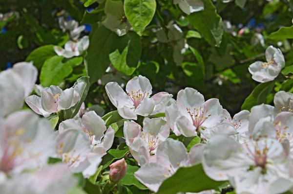 cognassier - Cydonia oblonga, fleurs