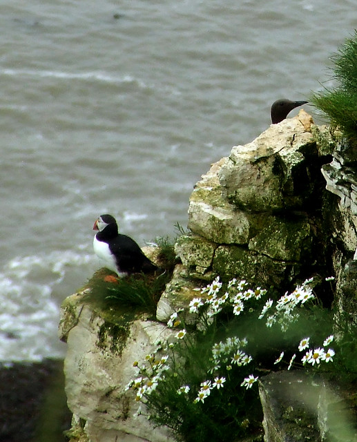 puffin at Bempton Cliffs