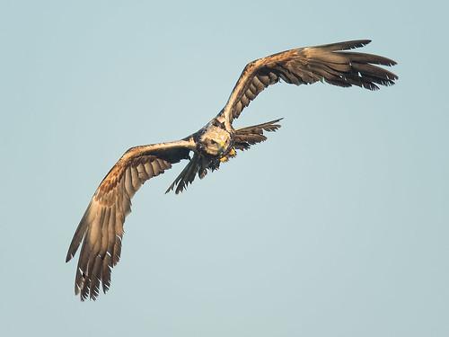 Male Marsh Harrier - head-on