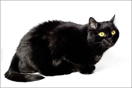 black-cat-white