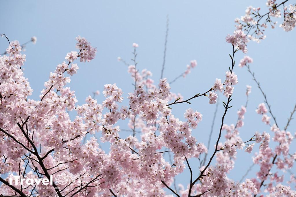 首尔赏樱景点 乐天塔石村湖 (16)