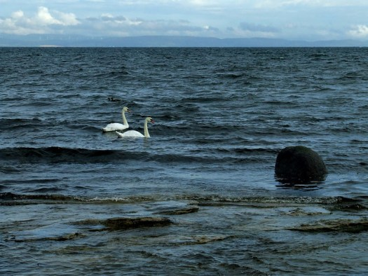 swans in the waves
