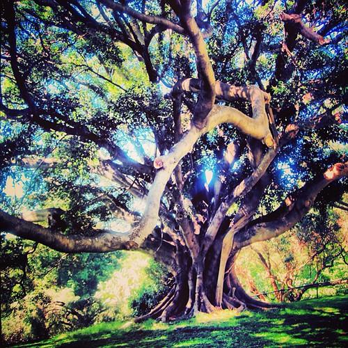 Banyon Tree #sydney by @MySoDotCom