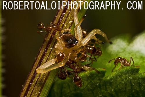 Ants vs Spider by Roberto_Aloi