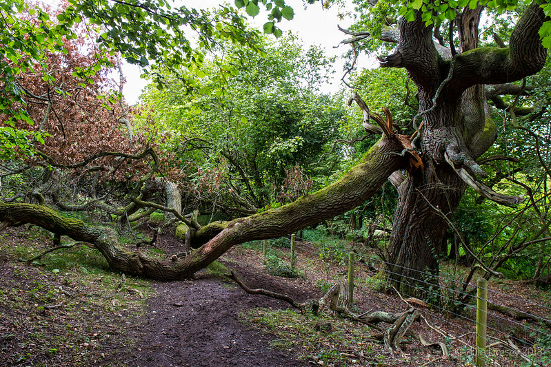Fallen Tree blocking the Purbeck Way