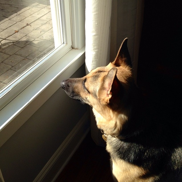 Shepherd on guard at her grandparents' house. #gsd #thanksgiving