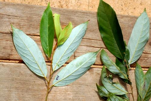 Endiandra grayi and Endiandra hypoptera  DSC_1178 (1)