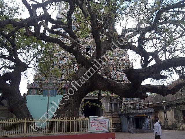 Sthala Vruksham, Vaitheeswaran Kovil