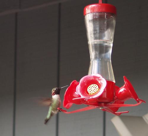 hummingbird feeding 2