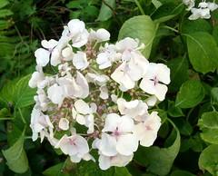 Weiße Hortensie 1