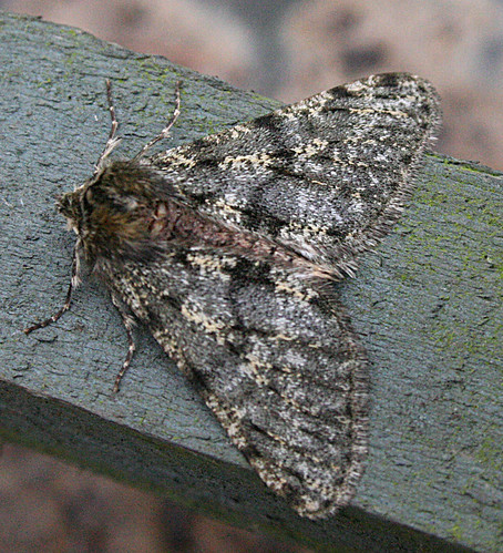 Pale Brindled Beauty Phigalia pilosaria Tophill Low NR, East Yorkshire January 2014