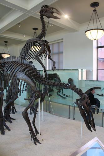 NYC - AMNH: Hall of Ornithischian Dinosaurs - Styracosaurus
