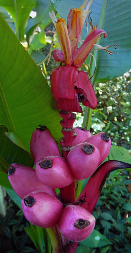 Pink Bananas at the Puerto Vallarta botanical garden