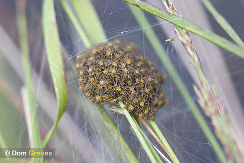 Baby raft spiders in nursery web