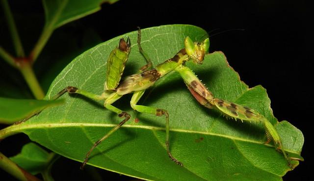 Juvenile Jeweled Flower Mantis (Creobroter gemmatus, Hymenopodidae)