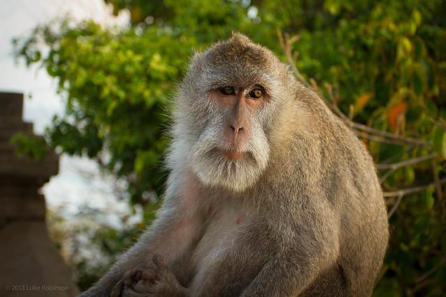 Macaque, Uluwatu, Bali
