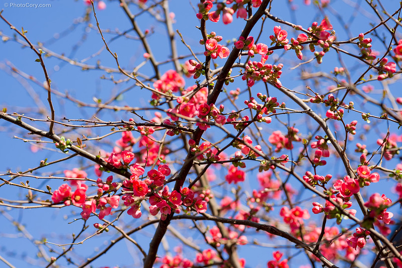 pomi flori roz pink flowers