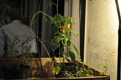 Indoor foliage (chilli)
