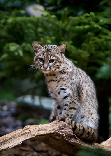 Geoffroy's cat by Stavros043