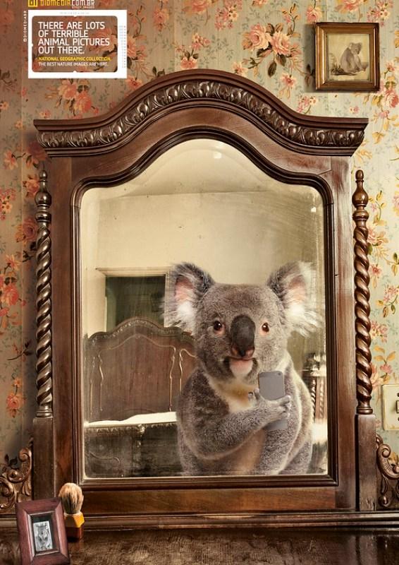 Diomedia - Koala