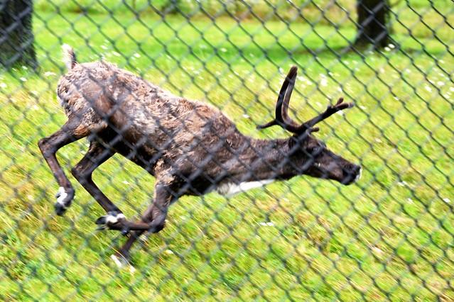Reindeer Sprint!