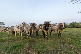 Met een finca (boerderij) waar ze koeien verbouwen.