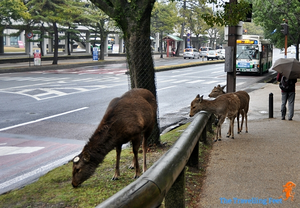 deers roam the streets of Nara