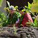 Traditional Hawaiian welcome ceremony for UH President David Lassner at the Hawai'inuiakea School of Hawaiian Knowledge