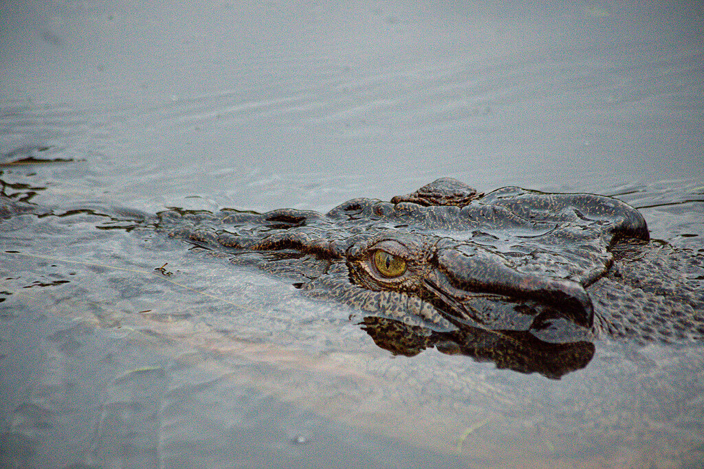 Crocodiles are just fascinating to look at, but it's a little nerve-wracking when they are looking back.
