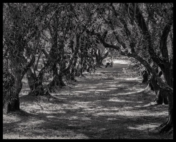 In the Grove #2 - Filoli - 2014