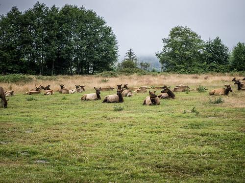 Redwoods and Elk-073