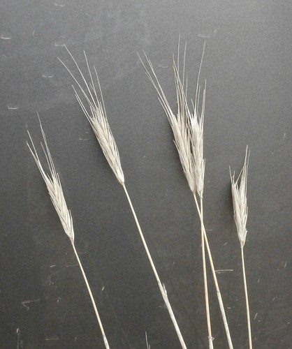 Damaged wheat heads