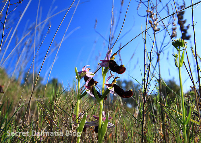 Bertolonijeva kokica | Bertoloni's bee orchid (Ophyrs bertolonii)
